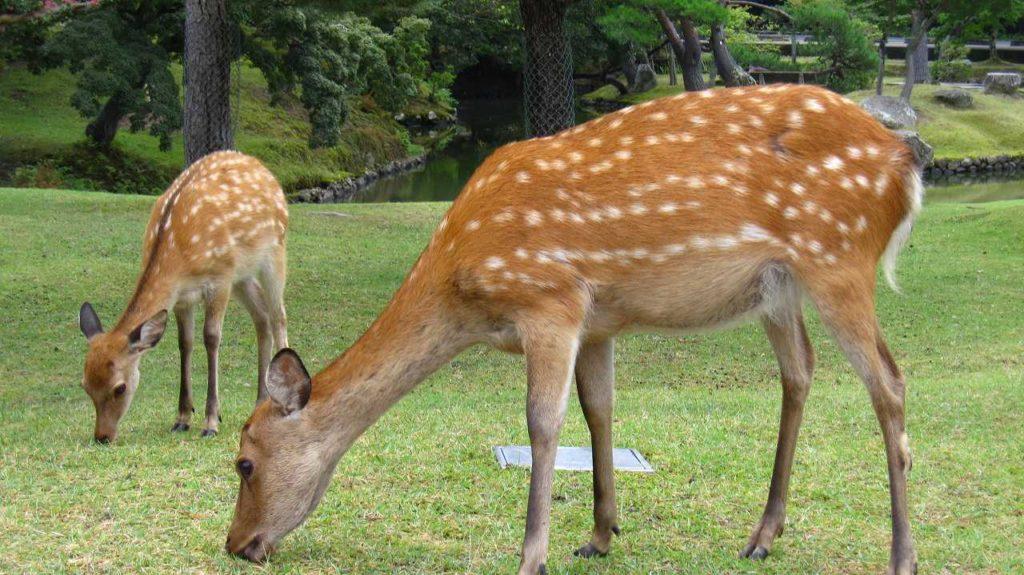 逃げない奈良の鹿